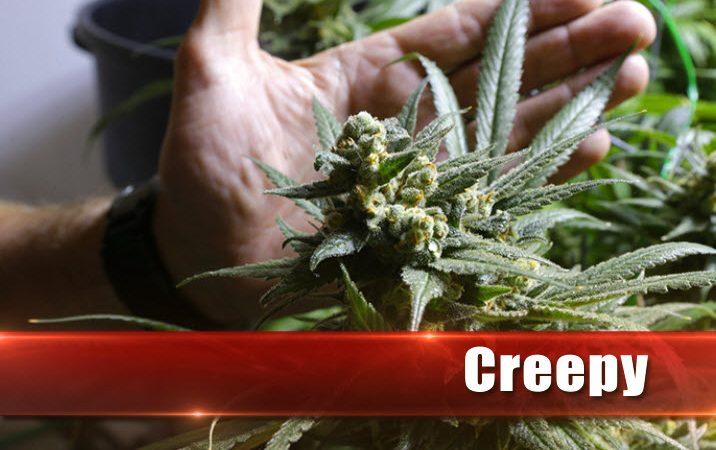 marihuana cripy - imperioseeds